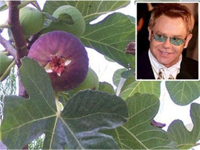 Elton John'un ocağına incir ağacı dikilecek